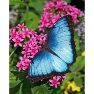 Pictura pe numere - Fluturele albastru ca oceanul