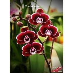 Goblen de diamante Orchidea catifelata