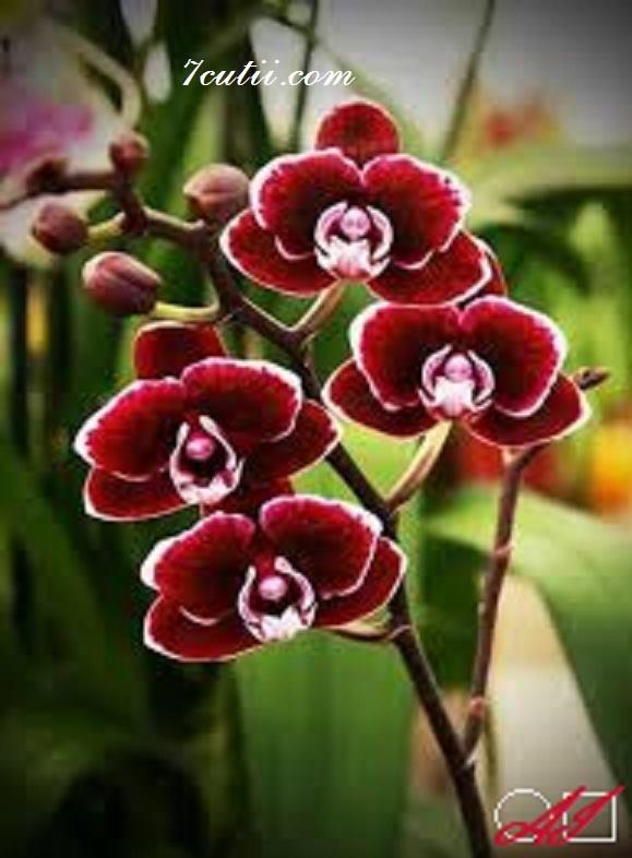 Goblen  de  diamante Orchidea catifelata: Dimensiuni si tip - 40x30 cm Margele Rotunde (Circulare)