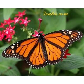 Pictura pe numere - Fluturele portocaliu