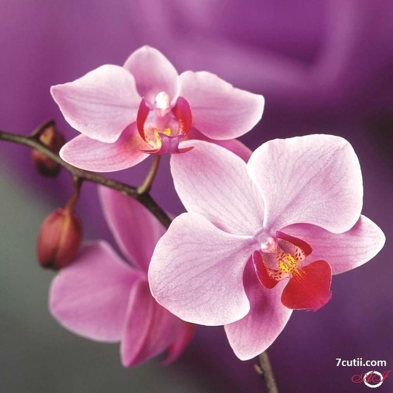Goblen de diamante - Orhideea Roz: Dimensiuni si tip - 25x25 cm Margele Patrate