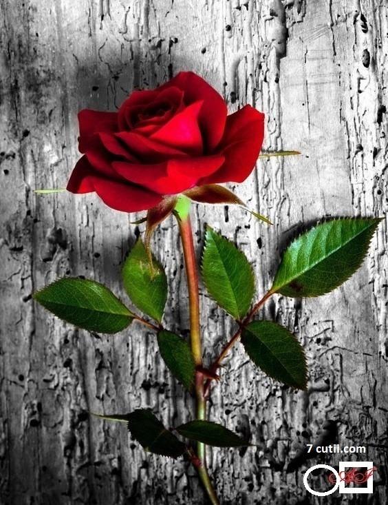 Goblen de diamante - Un trandafir pentru tine !: Dimensiuni si tip - 25x20 cm Margele Patrate