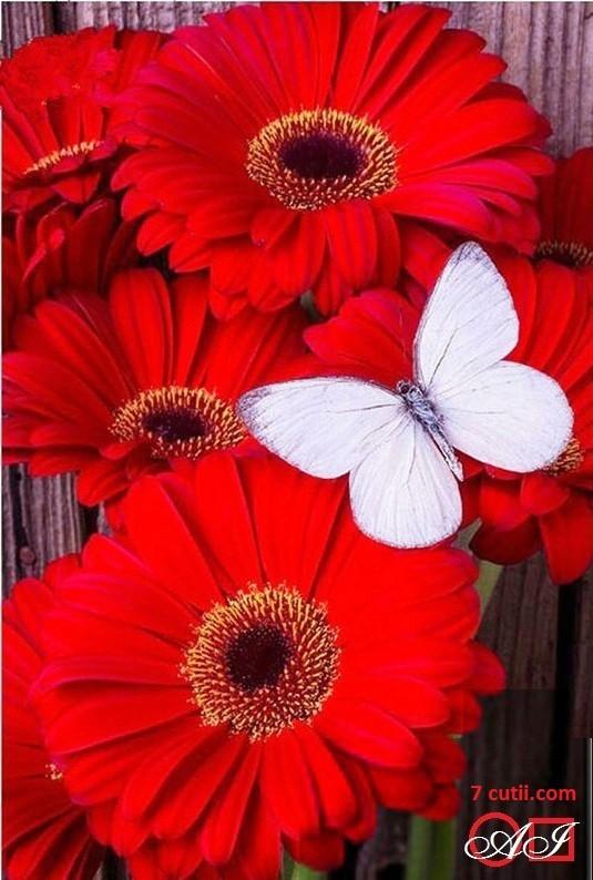 Goblen de diamante - Gerberi rosii - fluture alb: Dimensiuni si tip - 30x20 cm Margele Patrate
