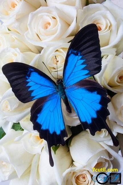 Goblen de diamante - Fluture albastru: Dimensiuni si tip - 30x20 cm Margele Rotunde (Circulare)