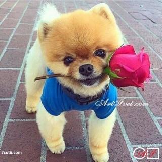 Goblen  de  diamante  Un câine oferă un trandafir