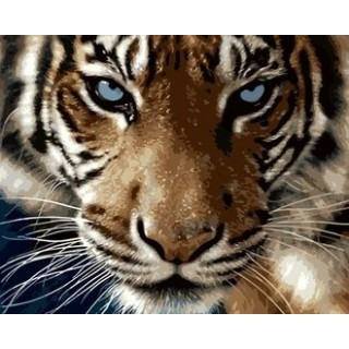 Pictura pe numere - Privirea hipnotizanta a tigrului